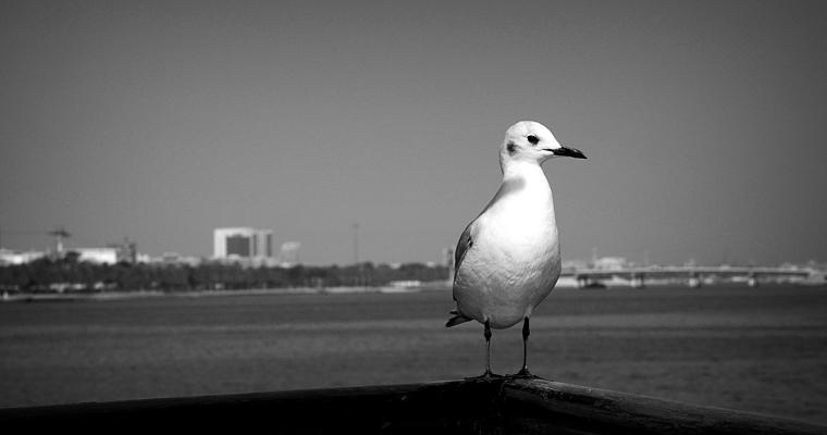 Seagull at the Dubai Creek
