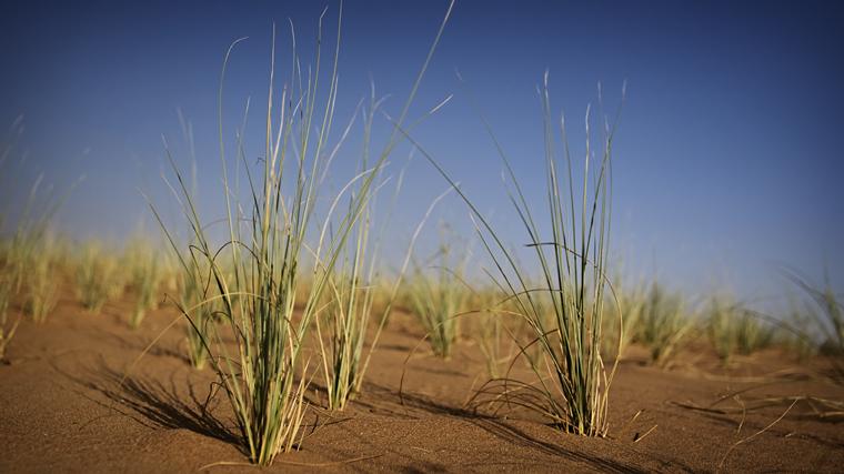 desert grass 1 middle east united arab emirates. Black Bedroom Furniture Sets. Home Design Ideas