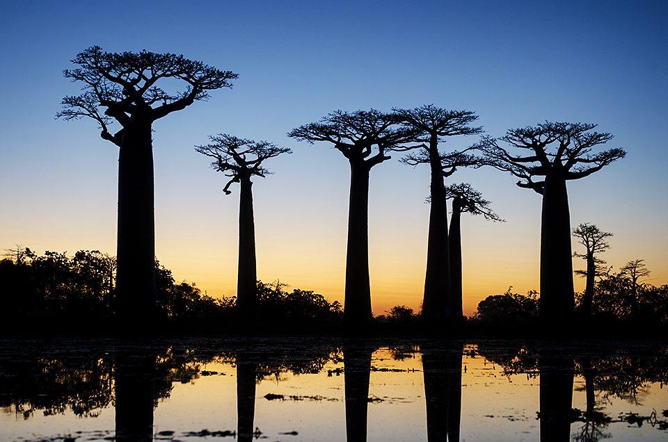 The Baobab Avenue #1