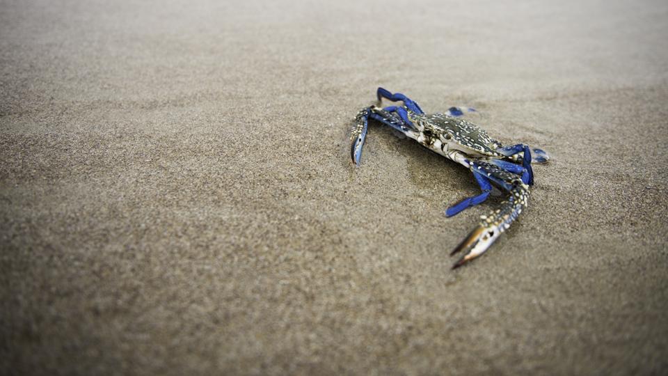 Omani Blue Crab