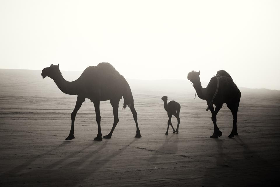 The Camel Festival #1