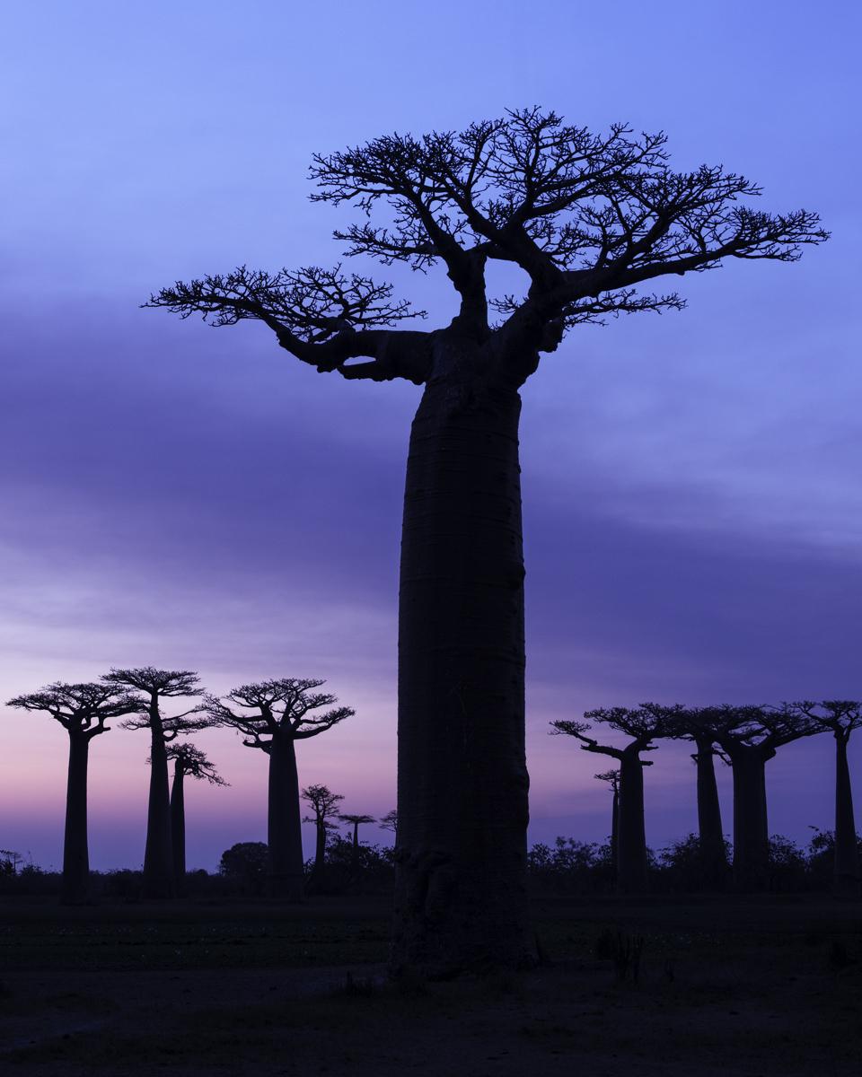 The Baobab Avenue #5