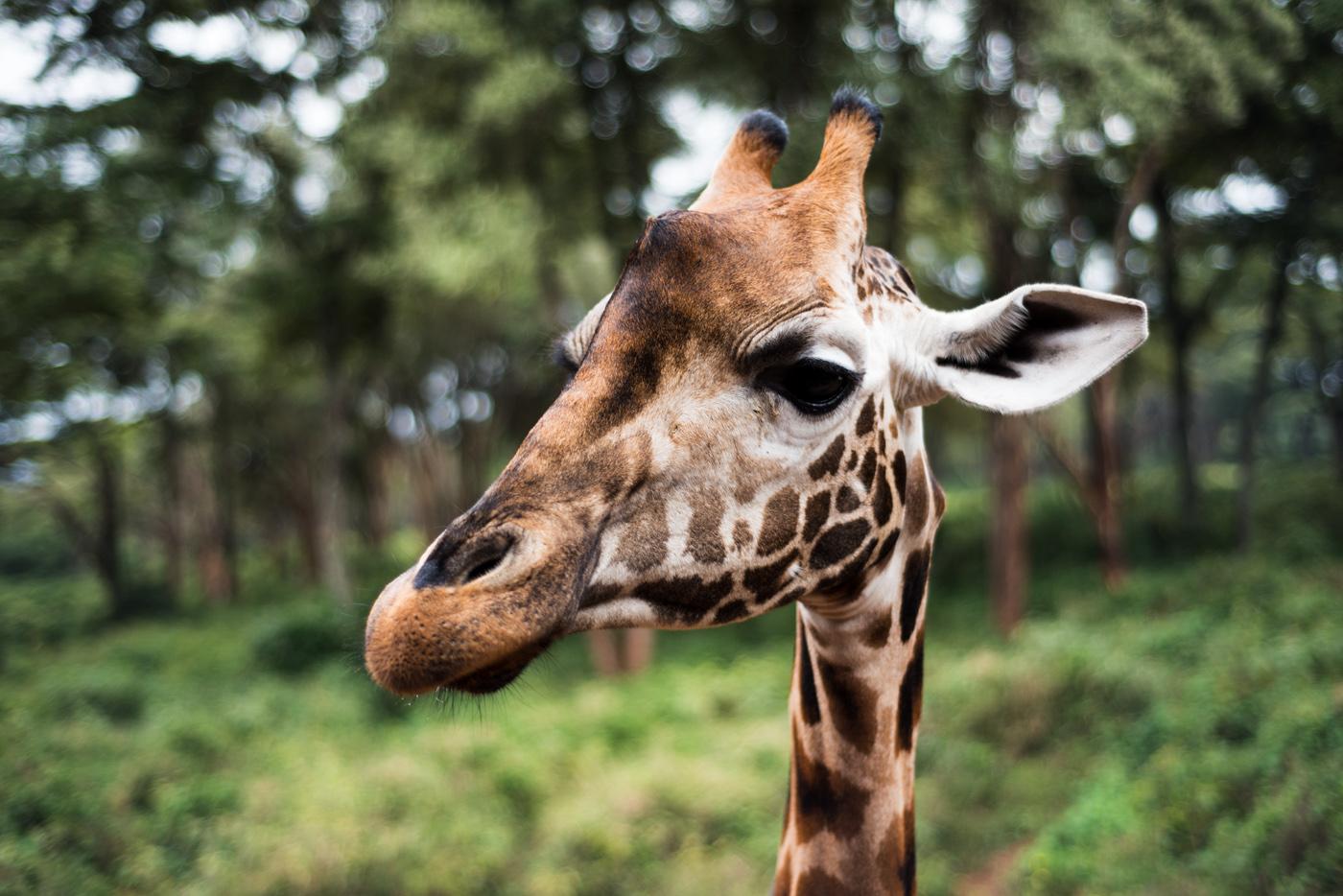 The Giraffe Centre #1