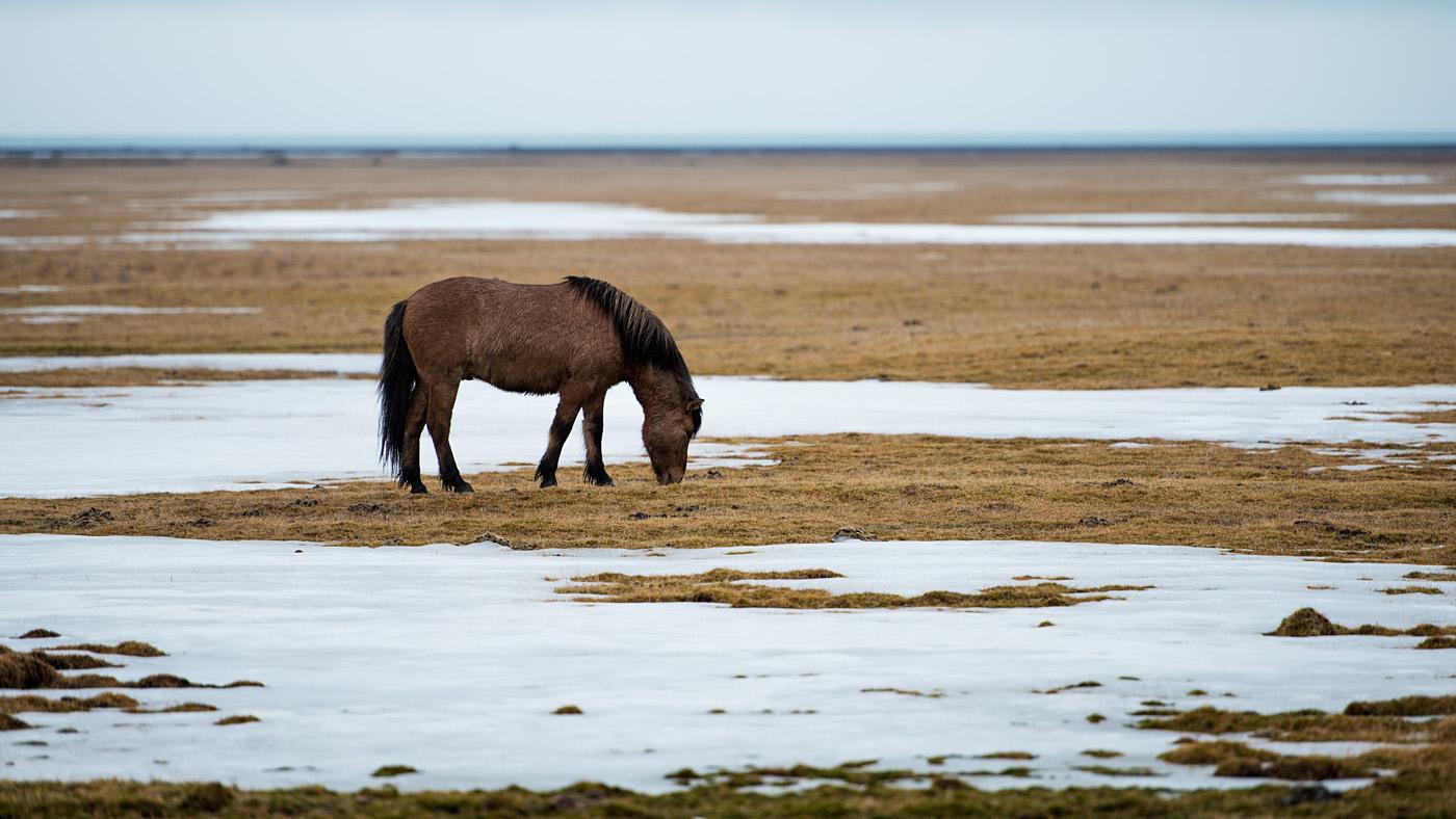 Icelandic horses #1