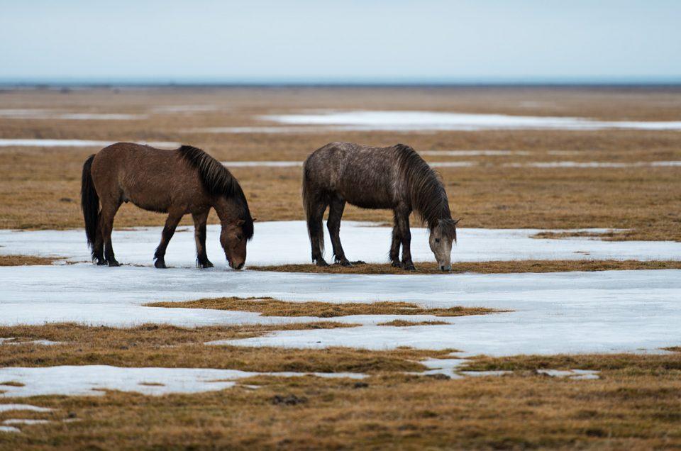 Icelandic horses #2