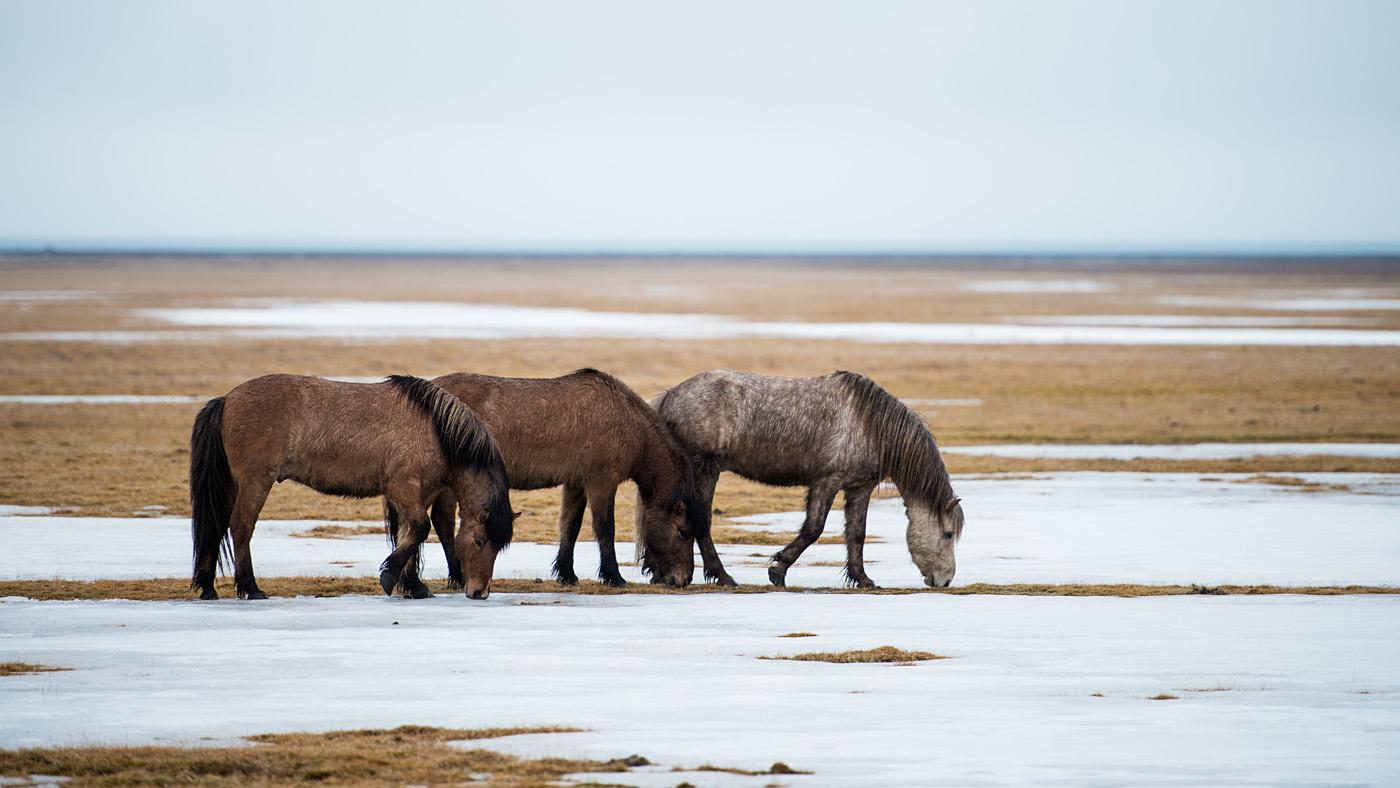 Icelandic horses #3