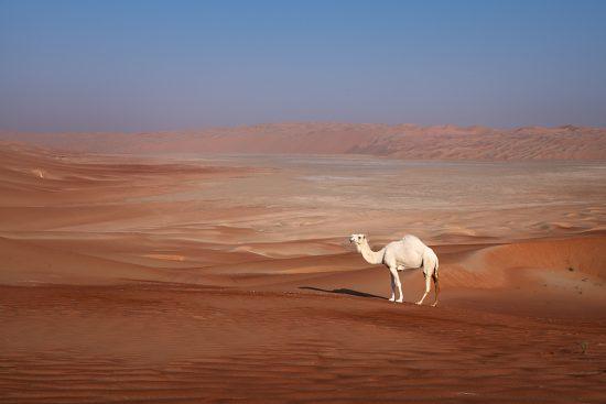 Posing camel