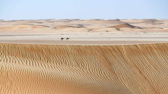 Camels heading home